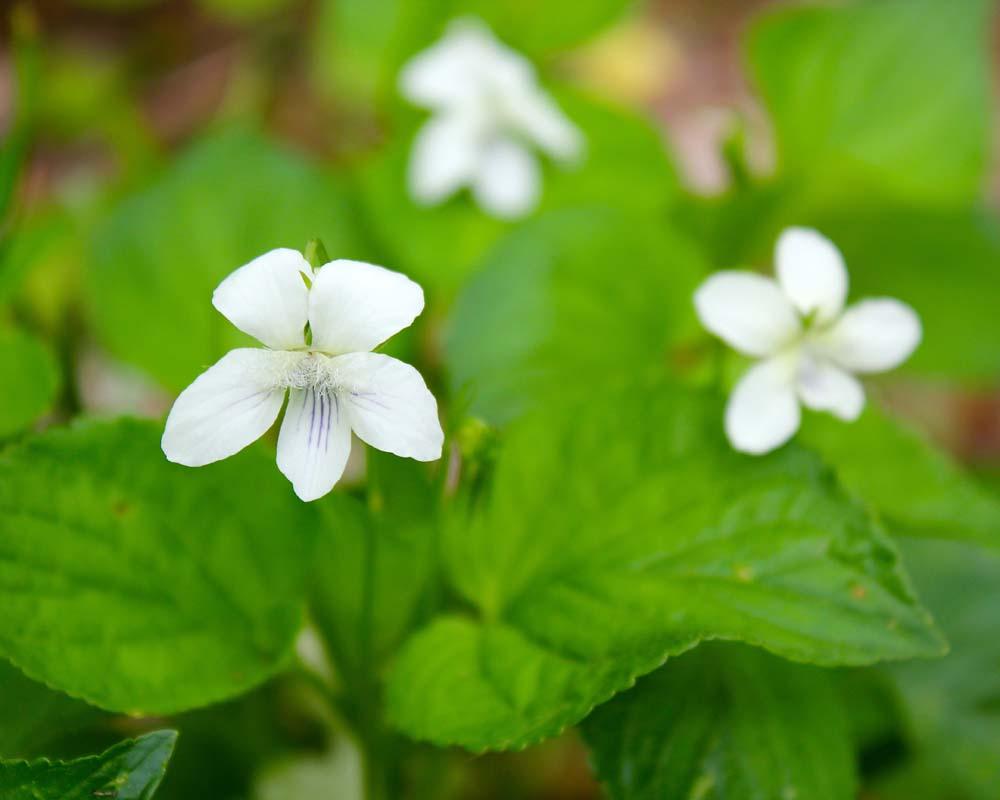 Cream Violet Virginia Wildflowers