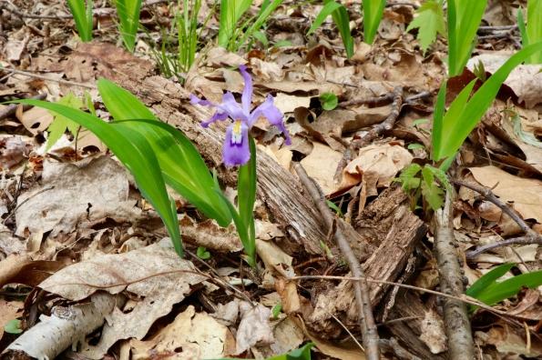 Dwarf Iris at Rock Castle Creek Gorge in April
