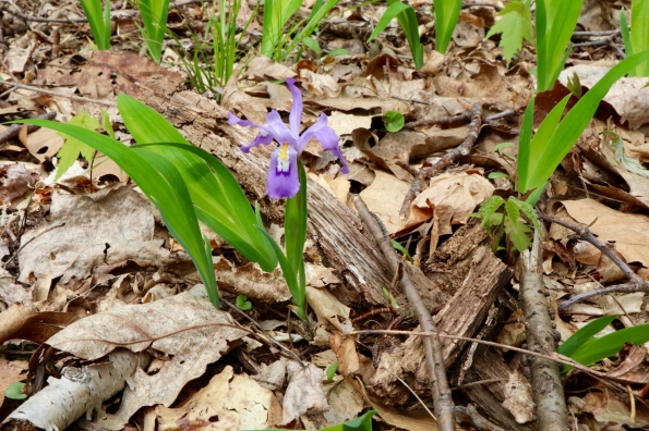 Dwarf Iris at Rock Castle Creek Gorge in April