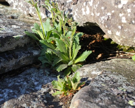 Cliff Saxifrage growing in the crevices of rock on Bald Knob (Mountain Lake Conservancy), VA