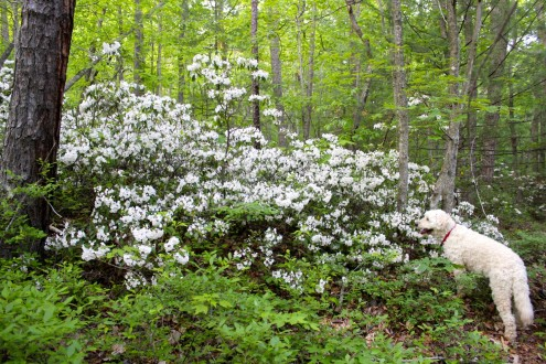 Mari in the Mountain Laurel