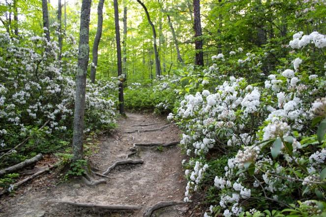 Acres of blooming Mountain Laurel along the Gateway Trail in Blacksburg, VA
