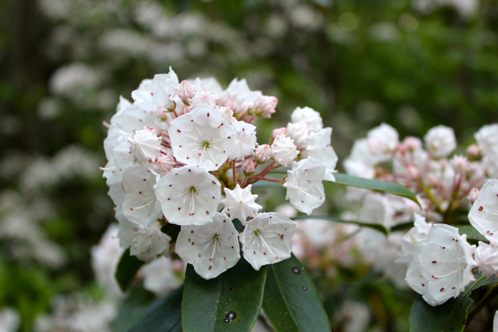 White Moutnain Laurel flowers