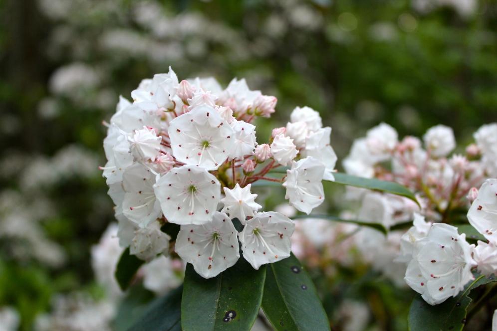 White Moutnain Laurel flowers