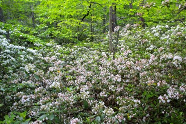 Mountain Laurel in bloom in late May