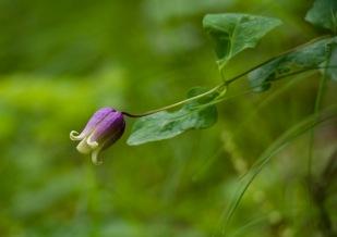 Addison's Leatherflower