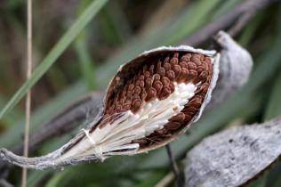 Milkweed seedpod in October