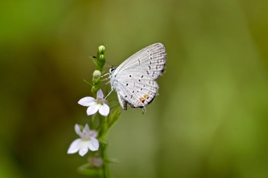 Pearly gray hairstreak on lobelia
