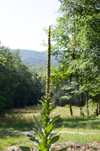 Common mullein produces lots of seeds on these tall flower stalks