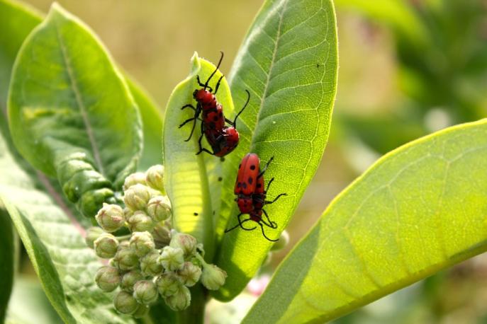 Red Milkweed Beetles