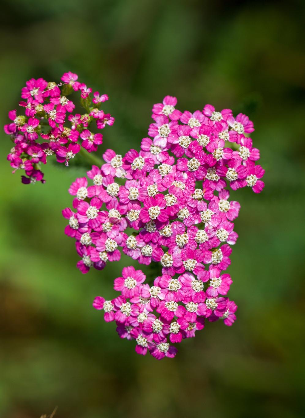 Pink Yarrow!