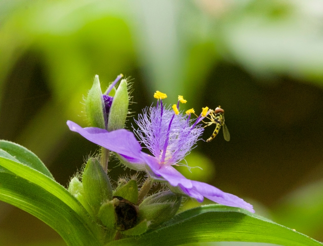 Spiderwort flowers are visited by many pollinators, including hoverflies