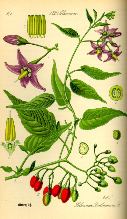 Illustration_Solanum_dulcamara0
