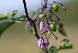 Flowers of bittersweet nightshade
