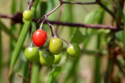 Berries of bittersweet nightshade