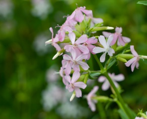 Soapwort, or Bouncing Bet
