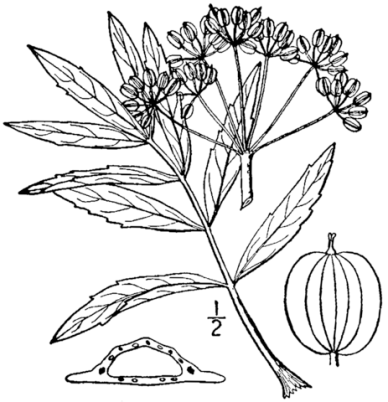 Illustration of Cowbane: leaves, umbel, seeds