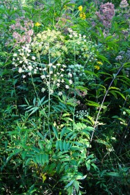 Cowbane growing alongside Joe Pye Weed and Green-headed Coneflower