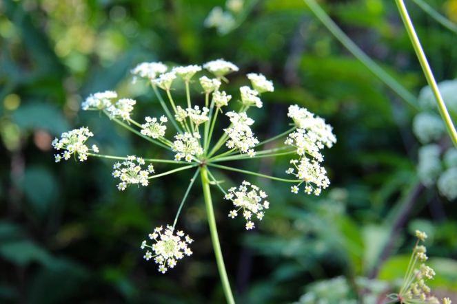 Umbel-shaped flowers