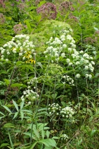 Cowbane flowers, leaves and seed heads in late August