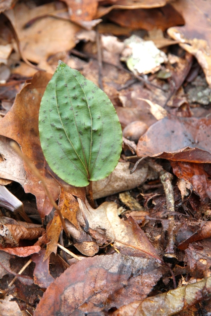 Cripled cranefly orchid leaves on Oct. 31 at Pandapas area