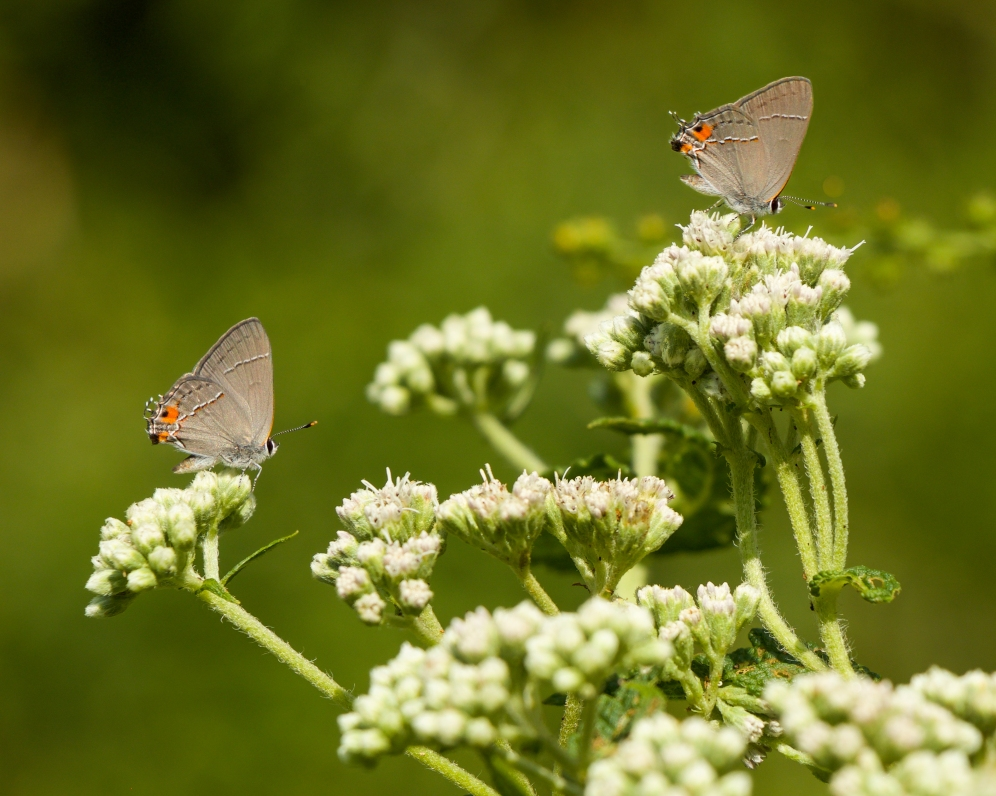 Gray Hairstreaks on boneset