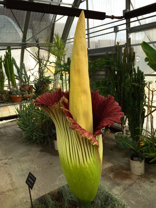Stinky Phil in bloom at Virginia Tech August 30, 2015