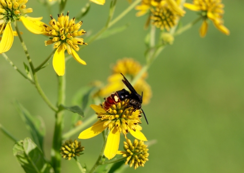 Blue Winged Digger Wasp on Wingstem flowers