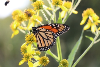 A monarch butterfly feeding on Wingstem in September