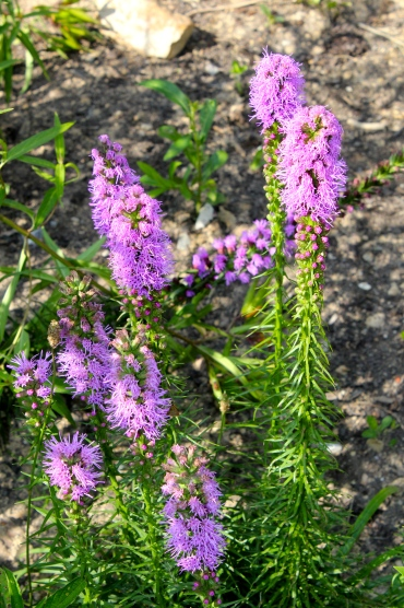 Liatris, or Gayfeathers--took this photo at the Pandapas demonstration wildflower garden, but it looks like a cultivar?