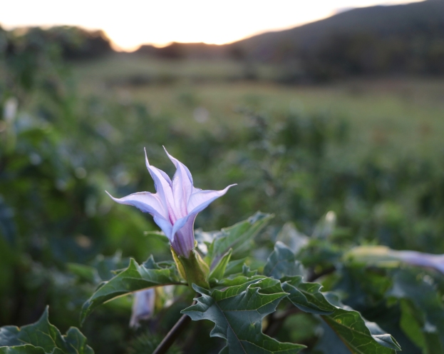 Jimsonweed opening at dusk on October 1st