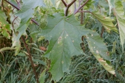Leaf of Jimsonweed