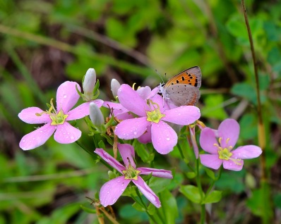 A small copper (or American Copper) on Common Rose Pink