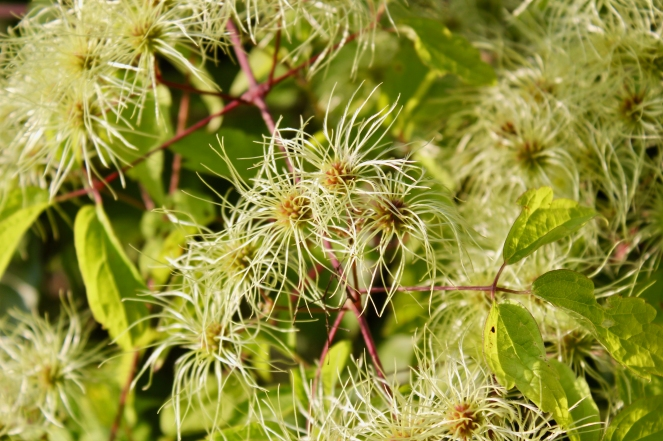 Virgin's Bower seed heads in the fall
