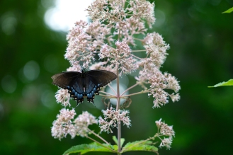 Joe Pye Weed with Eastern Tiger Swallowtail