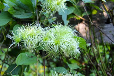 Seedheads of Virgin's Bower in August: looks like clematis