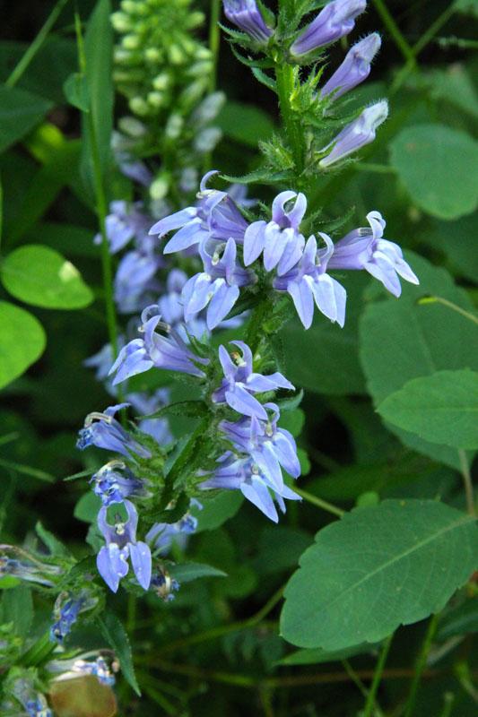 Great Blue Lobelia