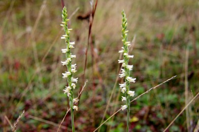 Yellow Ladies' Tresses