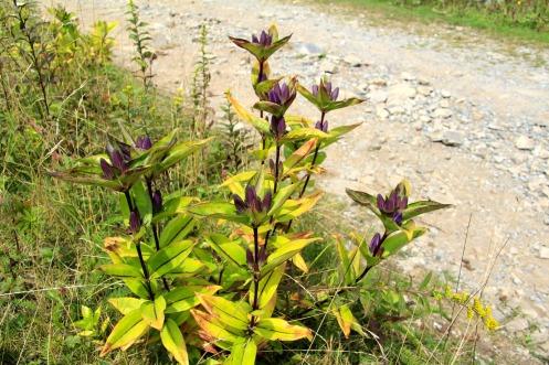 Balsam Mountain Gentian, Grayson Highlands