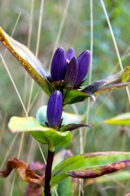 Balsam Mountain Gentian, Grayson Highlands