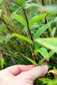 Leaves and Stem of Balsam Mountain Gentian, Grayson Highlands