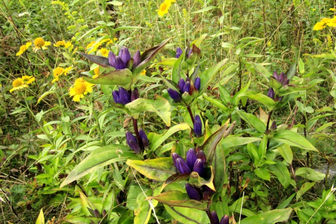 Balsam Mountain Gentian with Sneezeweed, Grayson Highlands
