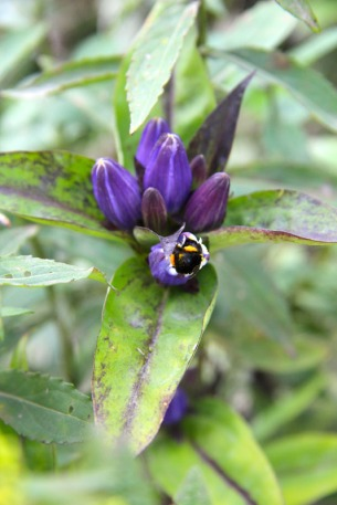 A bumble bee forced his way into the flower but then had a hard time getting back out!