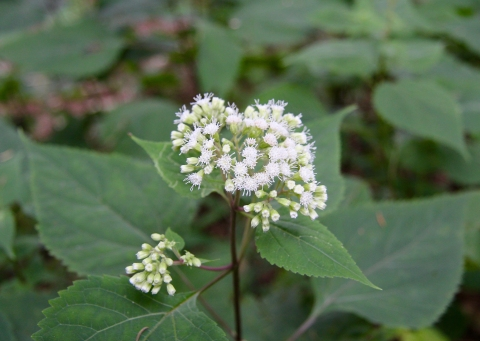 Snakeroot in Bloom