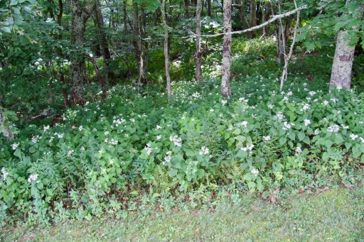 Snakeroot at the edge of the woods at Grayson Highlands State Park (August)