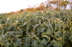 A patch of Jimsonweed growing in an old pasture in Blacksburg October1