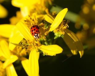 Ladybug on CrOwnbeard