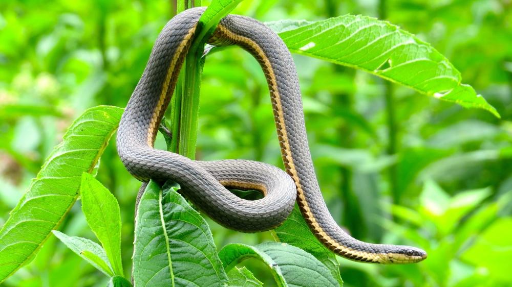 Queen snake7_7.5.15s