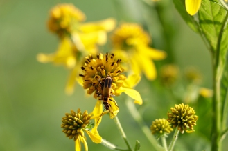 Goldenrod soldier beetles on wing stem