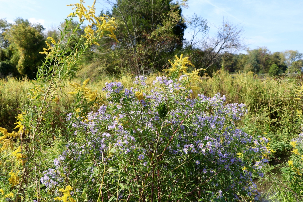 Purple-stemmed aster and goldenrod in Sept.
